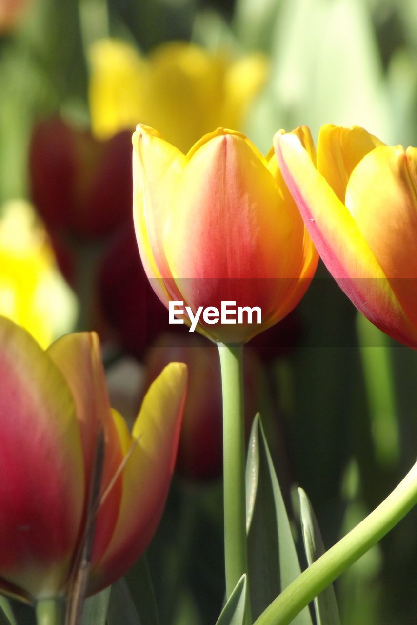 flower, flowering plant, beauty in nature, plant, freshness, petal, vulnerability, fragility, growth, inflorescence, close-up, flower head, focus on foreground, yellow, tulip, no people, nature, day, outdoors, selective focus