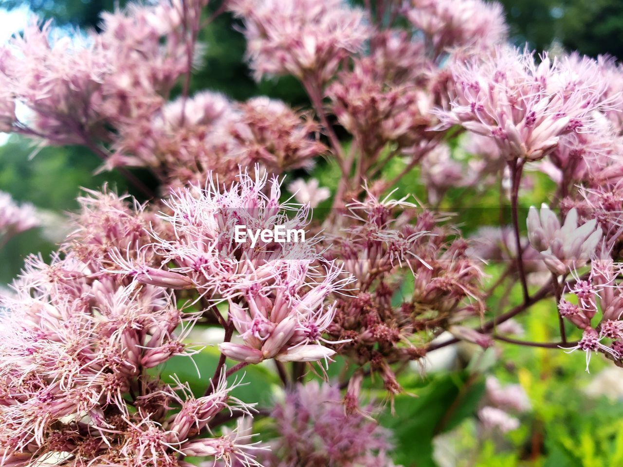 flower, flowering plant, plant, pink color, growth, beauty in nature, fragility, freshness, vulnerability, close-up, flower head, nature, petal, selective focus, inflorescence, no people, day, blossom, springtime, outdoors, bunch of flowers, lilac