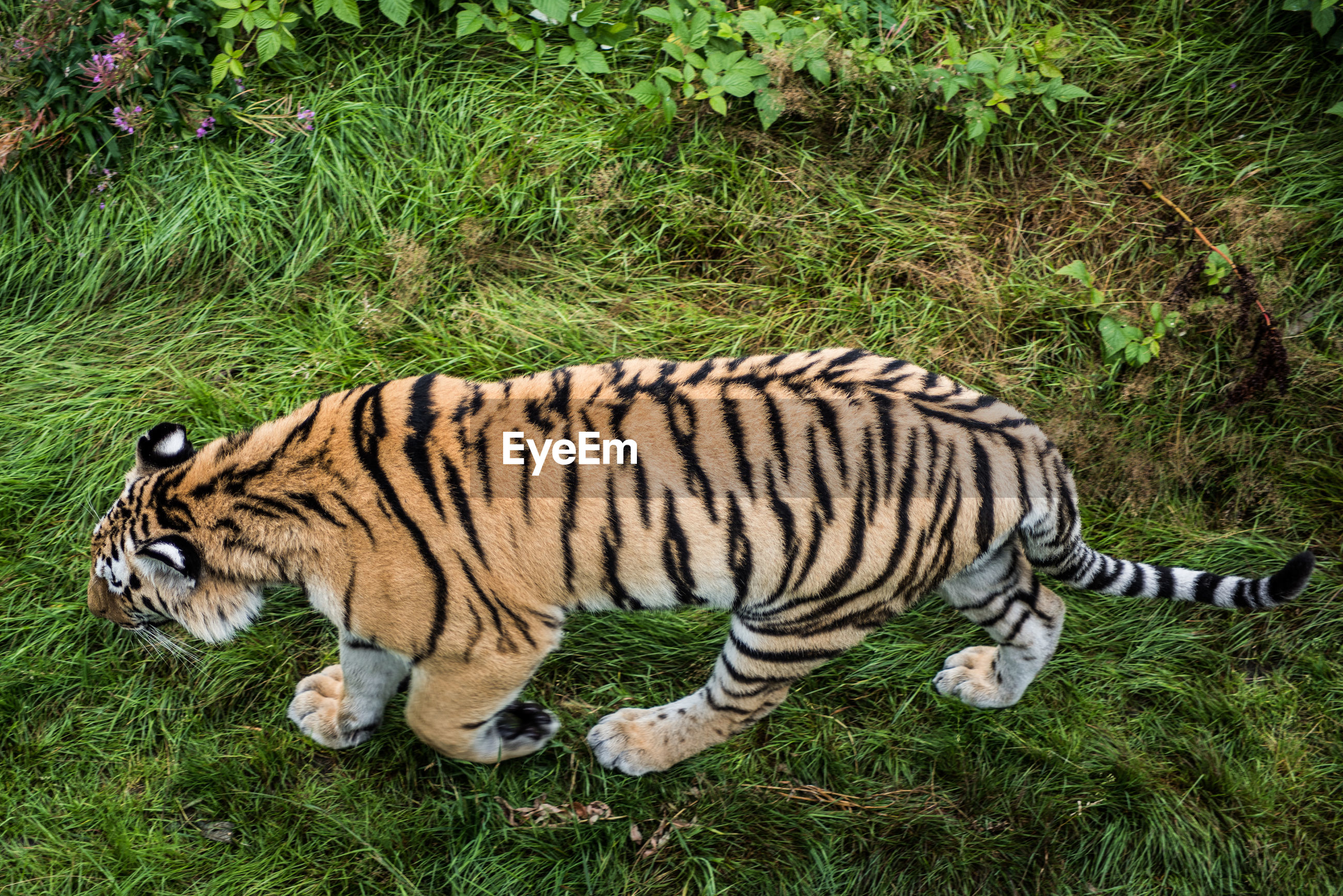 High angle view of tiger walking on grassy field