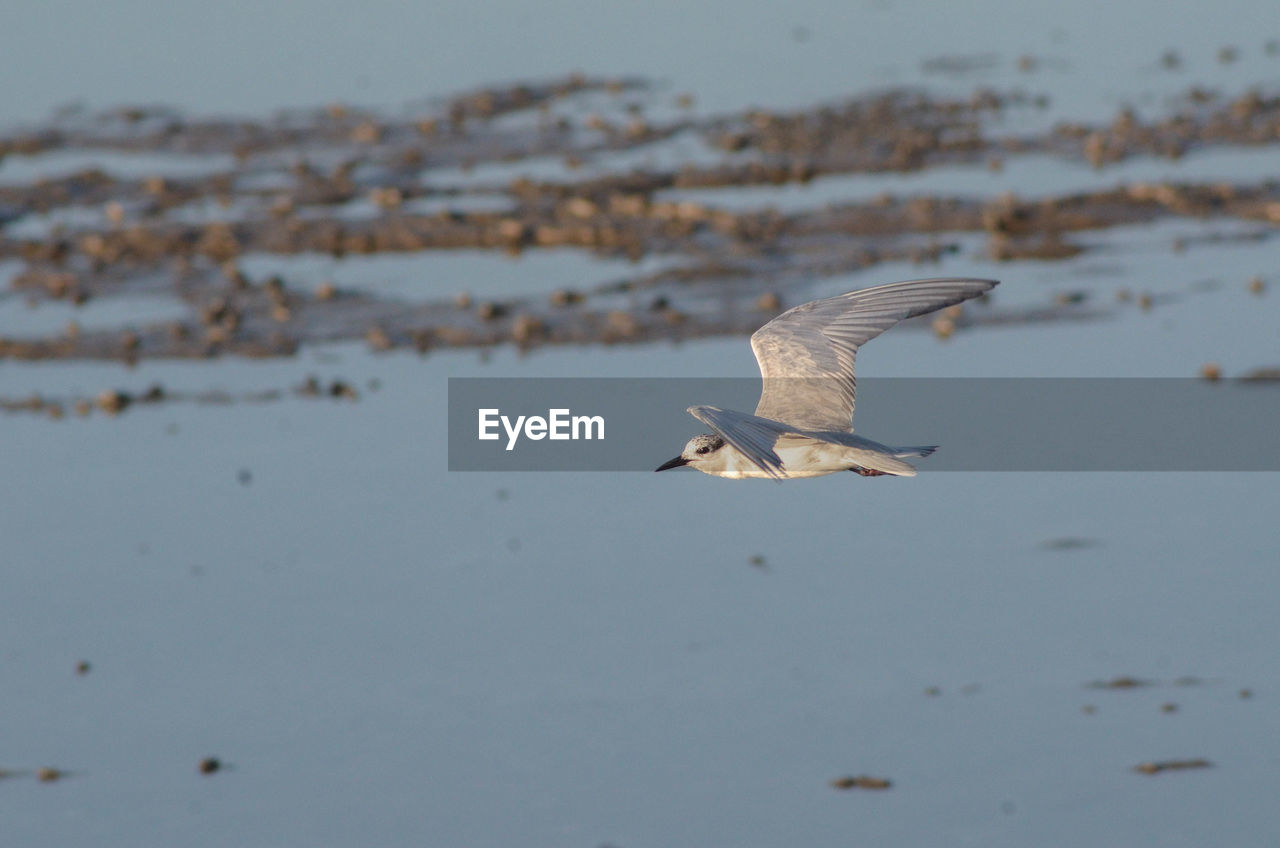 bird, animal wildlife, animals in the wild, animal themes, animal, vertebrate, flying, one animal, spread wings, water, mid-air, nature, no people, beauty in nature, white color, seagull, day, sea, motion, outdoors