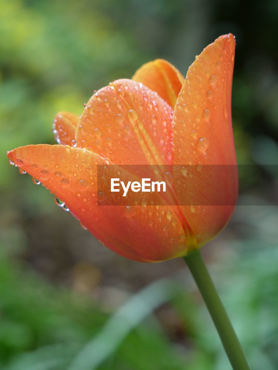 close-up, growth, plant, vulnerability, freshness, fragility, beauty in nature, orange color, flowering plant, no people, flower, nature, red, focus on foreground, drop, inflorescence, water, wet, flower head, day, outdoors, orange, dew