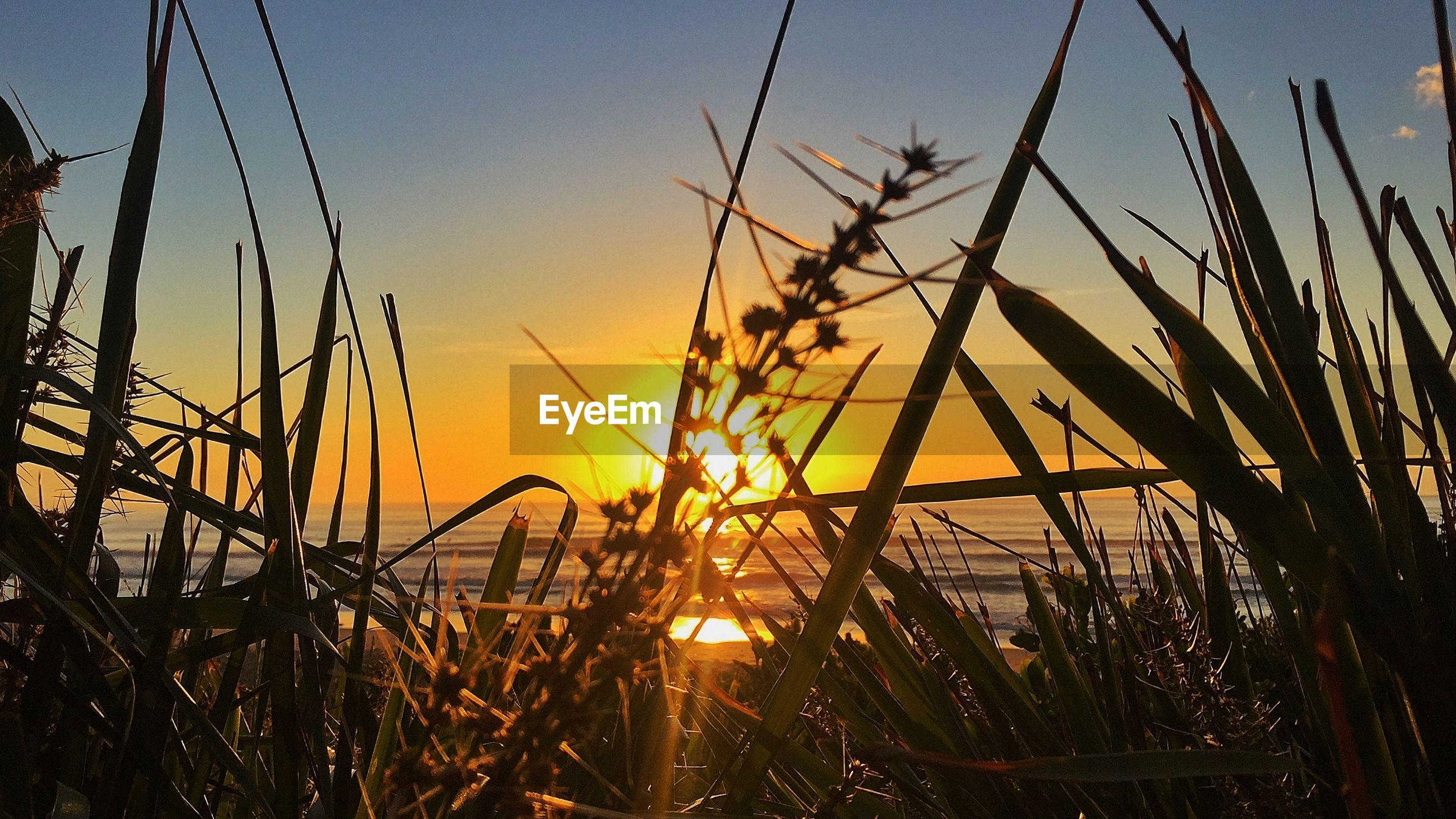 Grasses on beach against sky at sunset