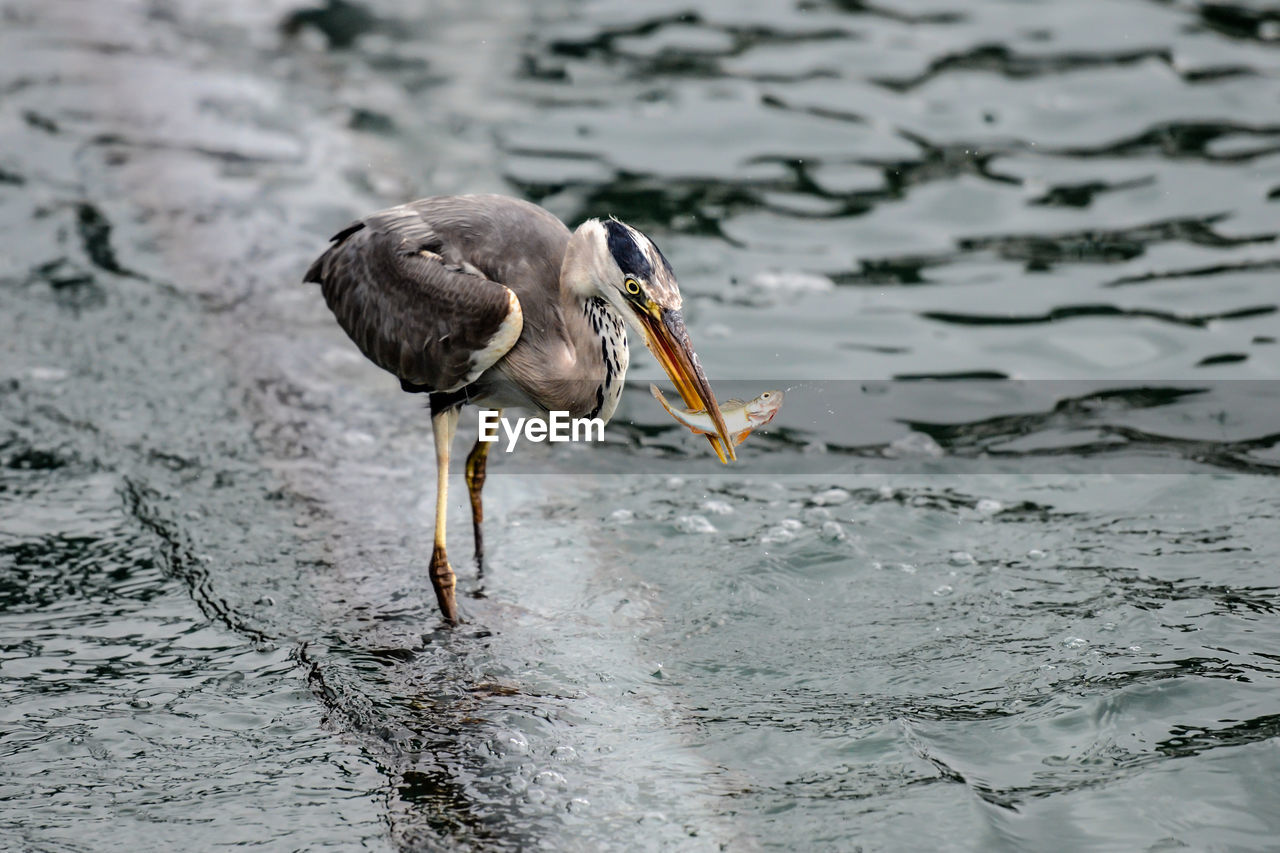 animal, animal themes, bird, animals in the wild, animal wildlife, one animal, vertebrate, water, heron, nature, waterfront, no people, day, water bird, focus on foreground, survival, beak, outdoors, eating