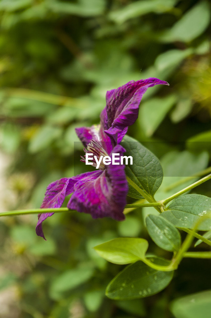 flowering plant, flower, plant, petal, beauty in nature, vulnerability, growth, fragility, close-up, purple, freshness, inflorescence, flower head, leaf, plant part, nature, focus on foreground, no people, day, selective focus, outdoors, iris - plant