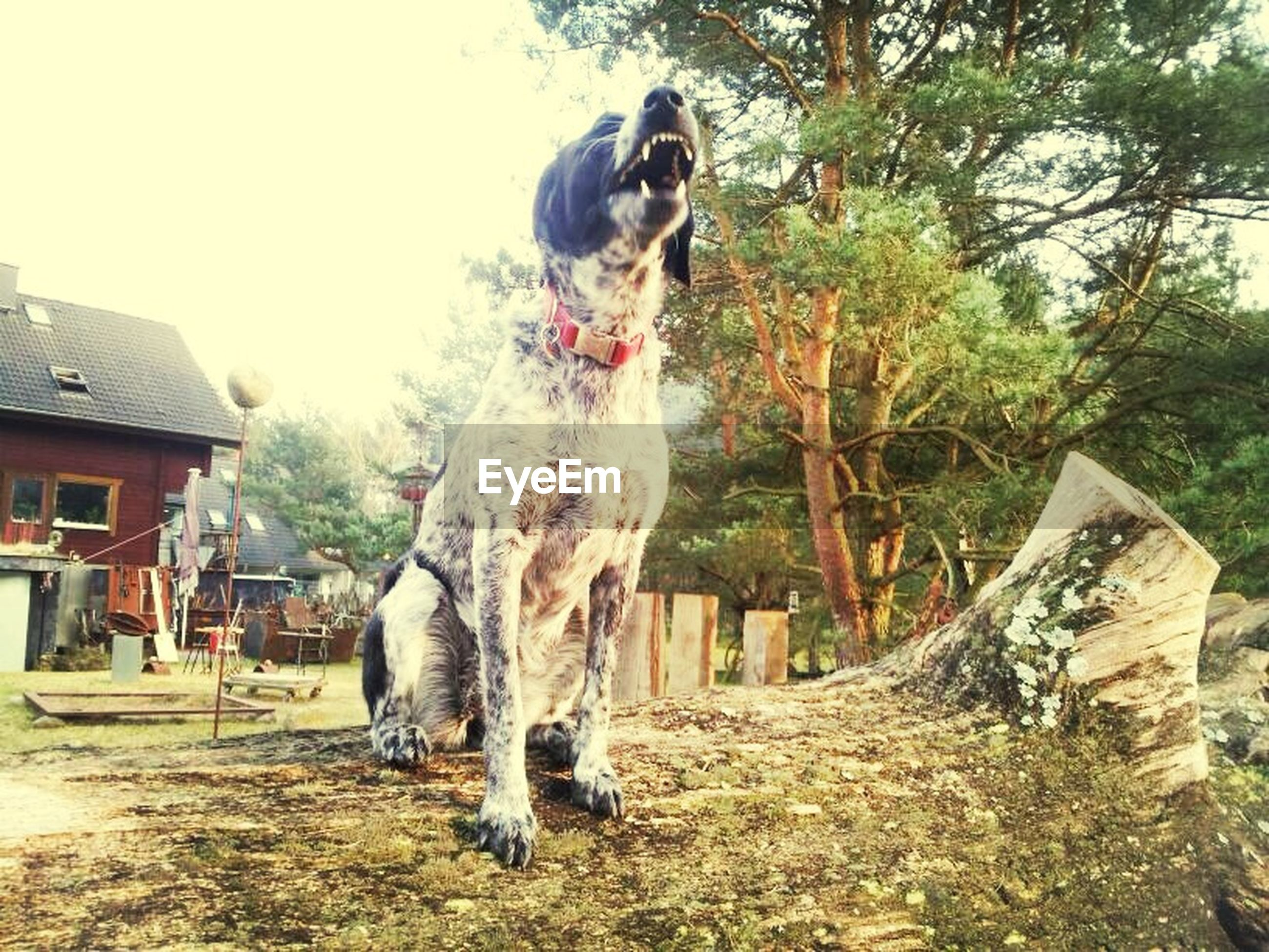 animal themes, mammal, one animal, domestic animals, tree, full length, standing, field, livestock, two animals, nature, pets, day, outdoors, dog, front view, wood - material, tree trunk, sunlight, no people