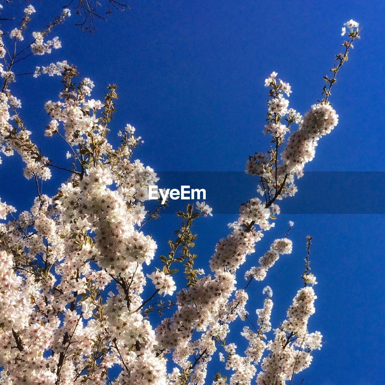 Low angle view of fresh white flowers blooming in openshaw park against clear sky
