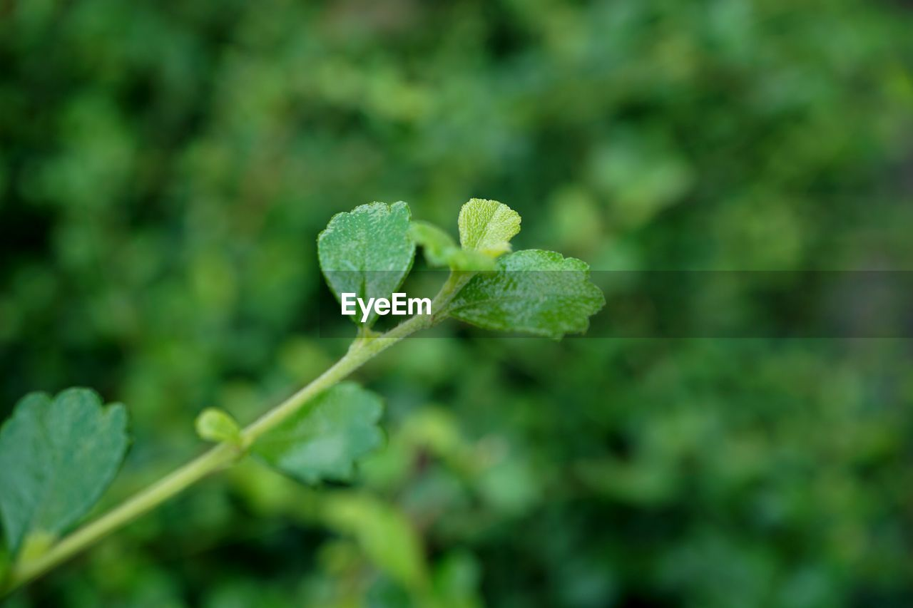 growth, plant, leaf, plant part, green color, beauty in nature, close-up, nature, no people, day, vulnerability, selective focus, fragility, freshness, focus on foreground, outdoors, beginnings, tranquility, land, plant stem