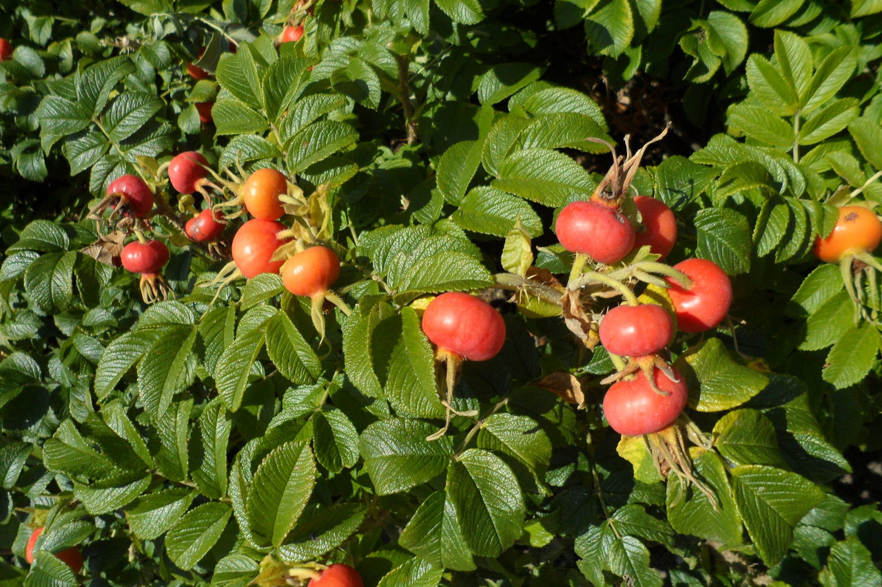 food, food and drink, fruit, leaf, plant part, healthy eating, growth, plant, freshness, green color, red, nature, wellbeing, day, no people, close-up, tree, beauty in nature, outdoors, ripe, lychee