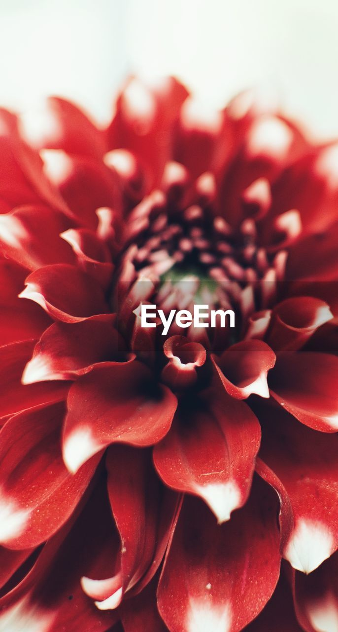 flower, flowering plant, beauty in nature, plant, petal, flower head, fragility, vulnerability, freshness, close-up, inflorescence, red, nature, growth, no people, full frame, dahlia, backgrounds, extreme close-up, flower arrangement, bouquet, bunch of flowers