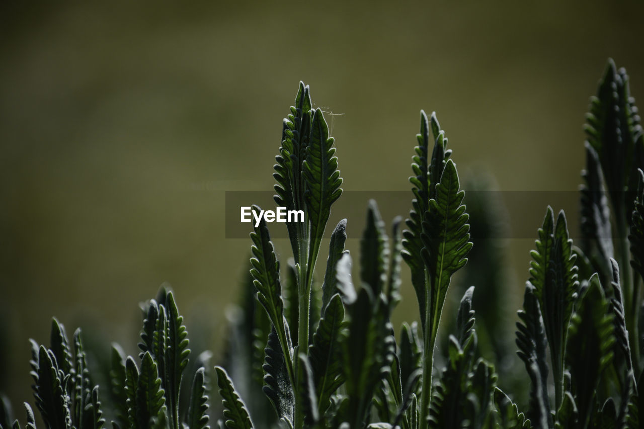 growth, plant, beauty in nature, green color, focus on foreground, close-up, tranquility, nature, day, no people, plant part, leaf, outdoors, selective focus, land, field, freshness, fragility, vulnerability, scenics - nature