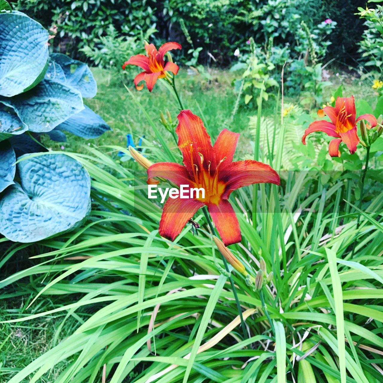 growth, flower, nature, petal, beauty in nature, plant, freshness, flower head, fragility, no people, day, field, blooming, outdoors, red, close-up, day lily