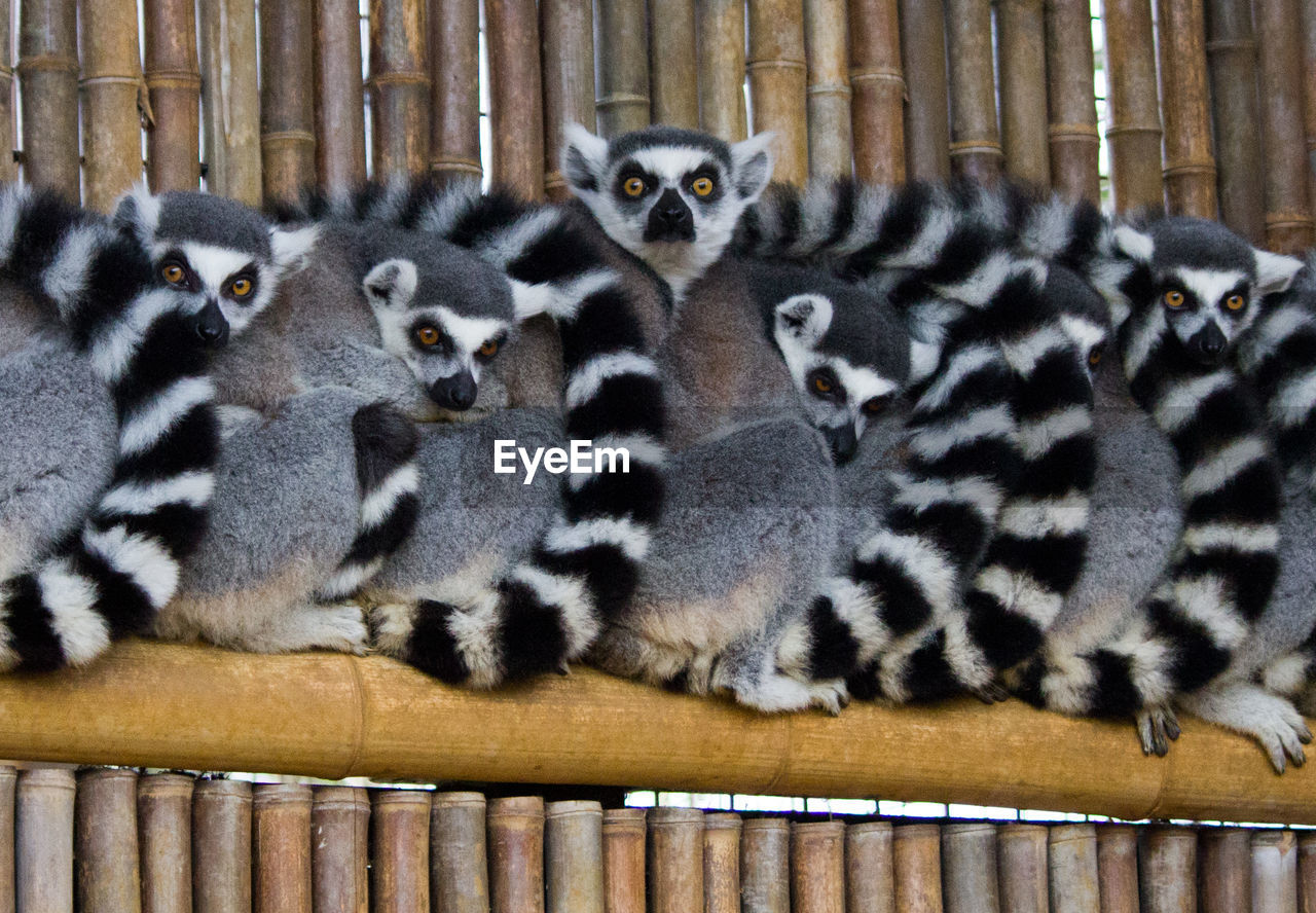 Ring-Tailed Lemurs In Zoo