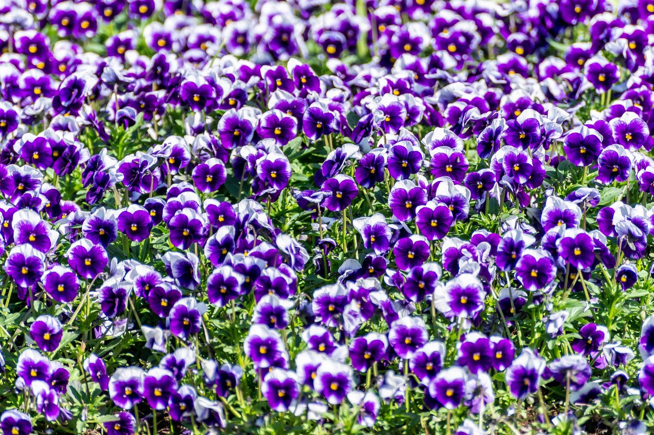 flower, flowering plant, plant, purple, beauty in nature, growth, fragility, freshness, vulnerability, full frame, backgrounds, nature, no people, flower head, day, petal, field, close-up, inflorescence, land, outdoors, springtime, flowerbed, gardening