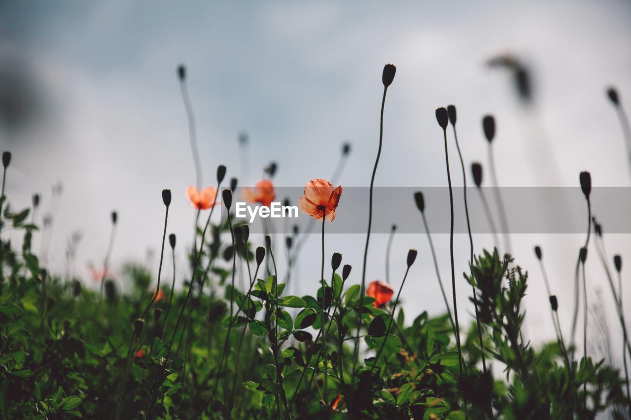Orange Poppy Flowers Blooming At Park Against Sky
