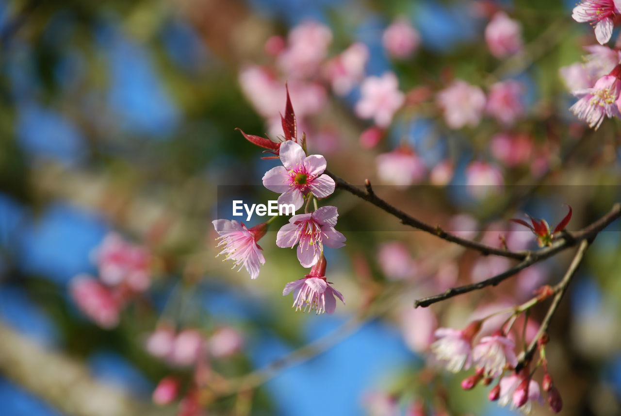 flower, flowering plant, growth, plant, beauty in nature, fragility, freshness, vulnerability, close-up, petal, tree, blossom, springtime, focus on foreground, pink color, branch, nature, no people, selective focus, day, flower head, pollen, outdoors, cherry tree, cherry blossom, spring