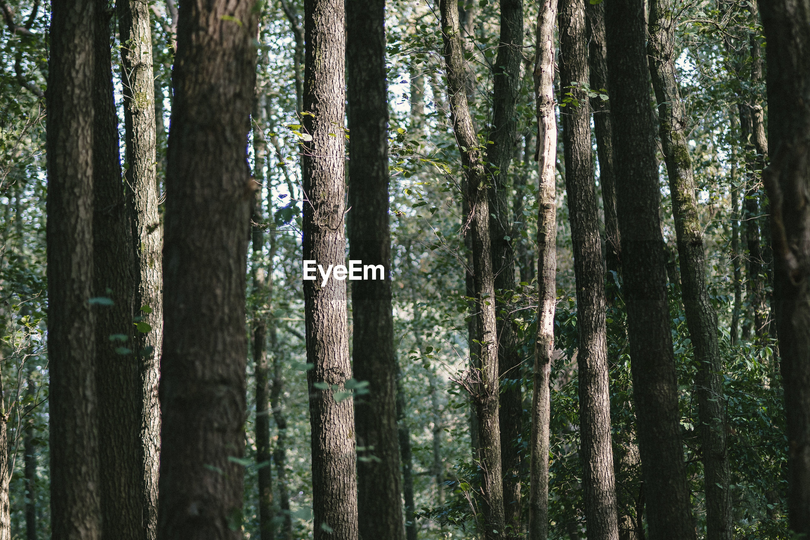 FULL FRAME SHOT OF TREES IN THE FOREST