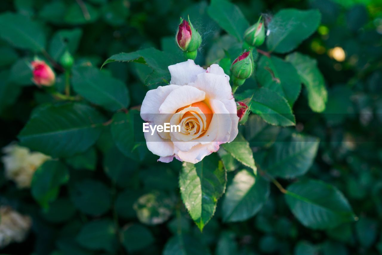 leaf, rose - flower, flower, petal, plant, growth, green color, focus on foreground, nature, flower head, close-up, no people, beauty in nature, fragility, day, freshness, outdoors, blooming