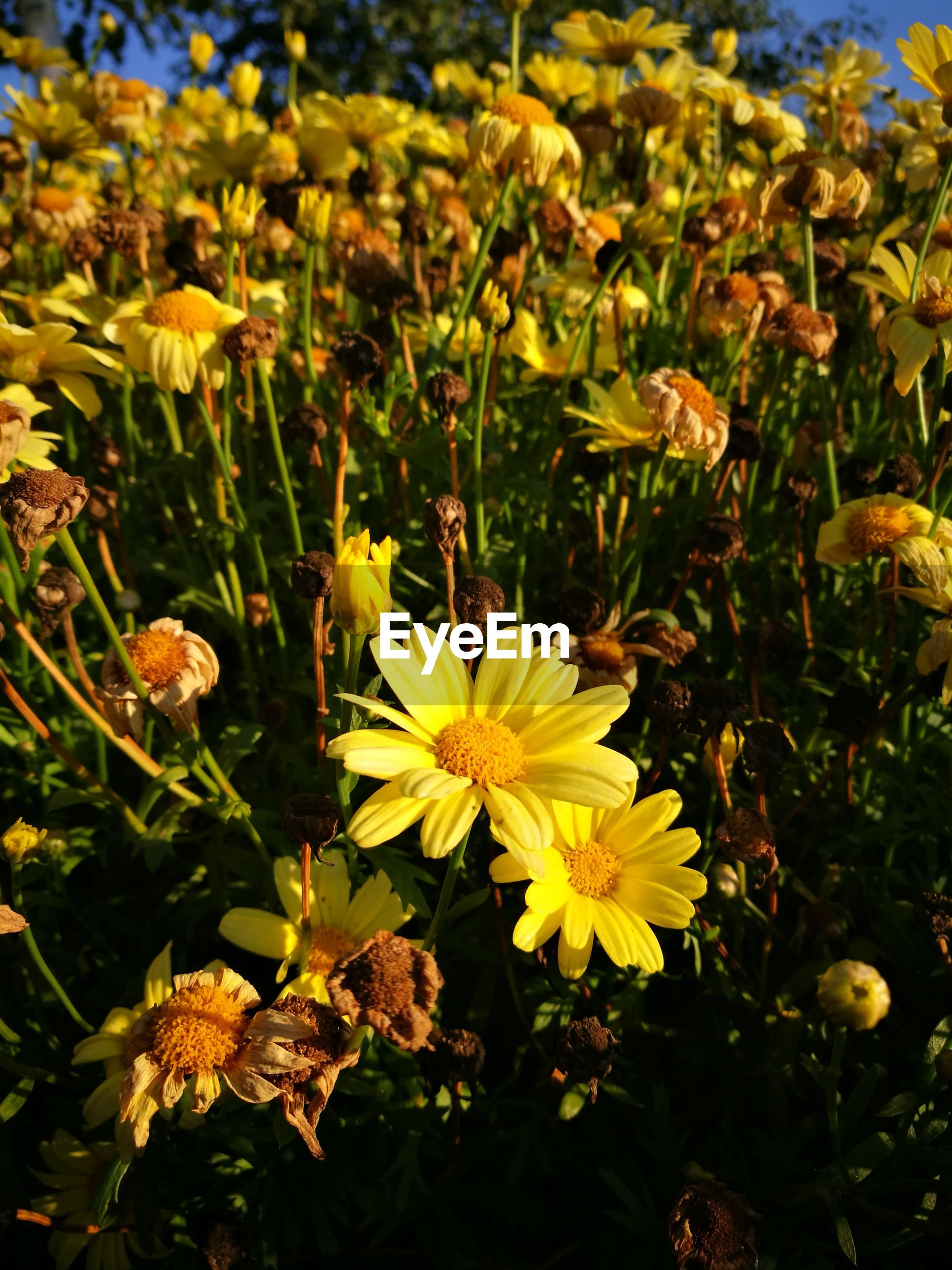 CLOSE-UP OF YELLOW FLOWERS IN PARK