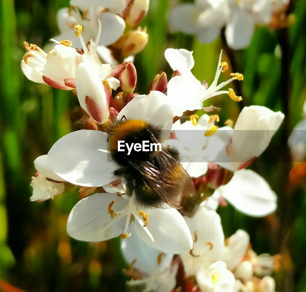 flower, insect, animal themes, petal, animals in the wild, fragility, nature, white color, freshness, growth, one animal, flower head, no people, day, beauty in nature, plant, close-up, bee, outdoors, pollination, blooming