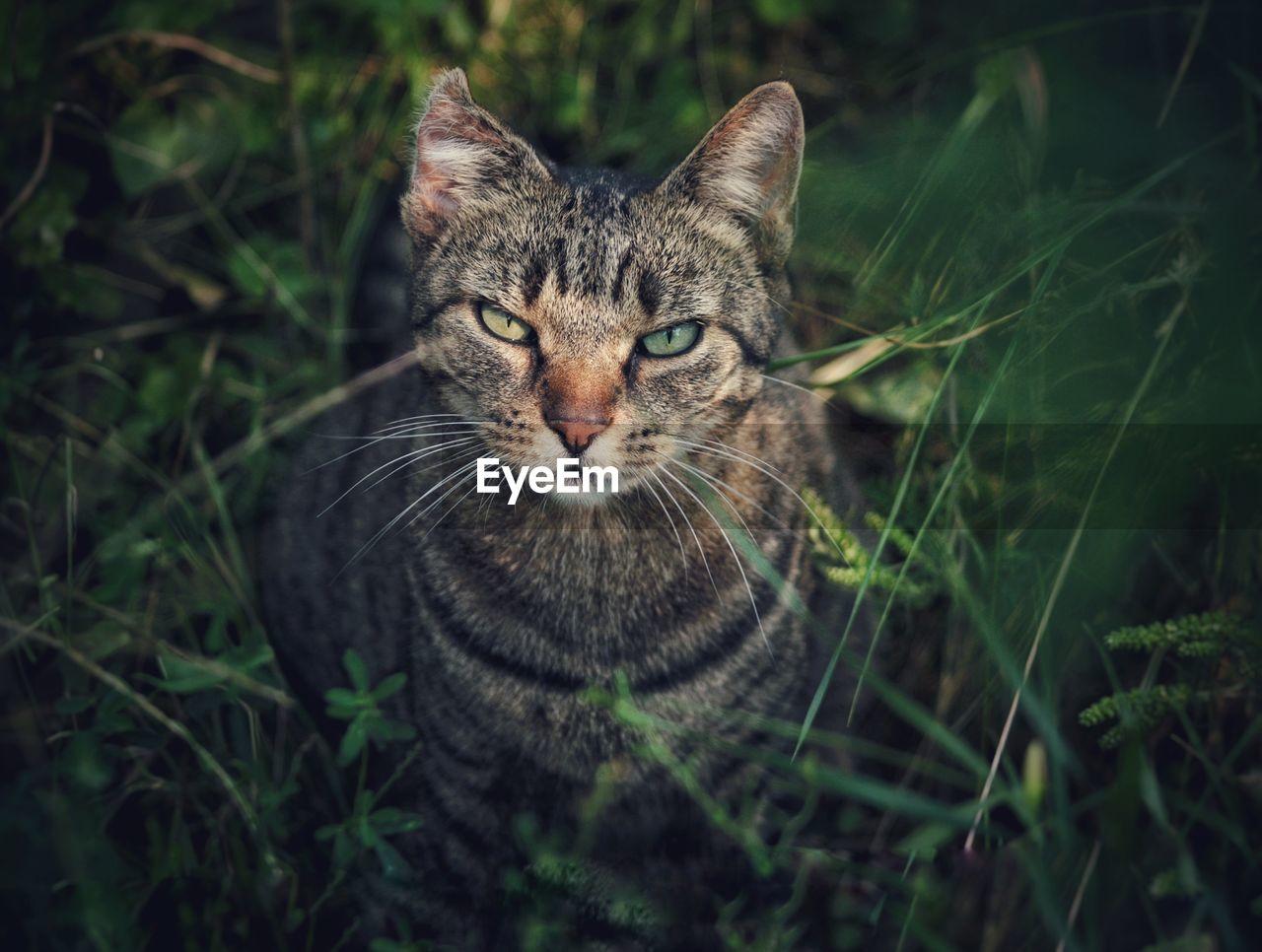 Portrait Of Tabby Cat Standing On Field