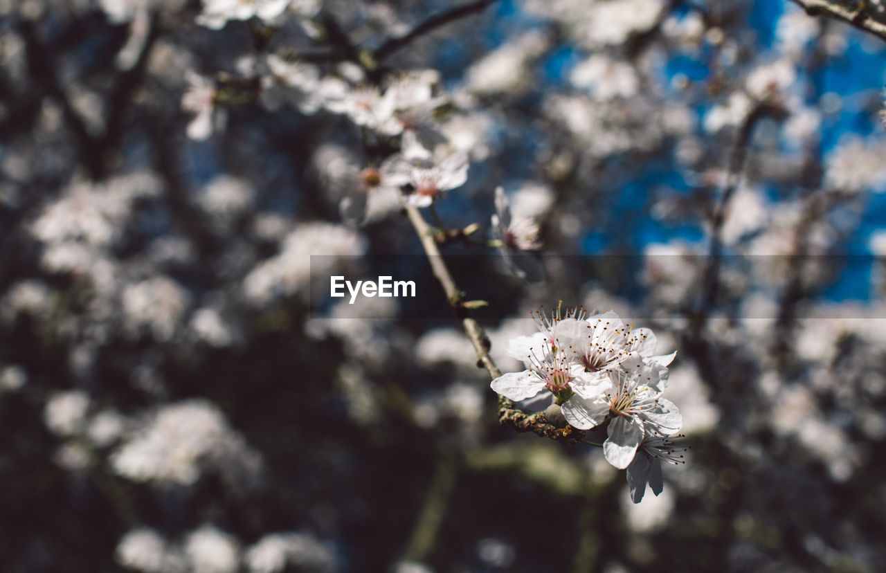 flower, fragility, flowering plant, vulnerability, plant, beauty in nature, freshness, close-up, focus on foreground, day, growth, white color, nature, flower head, no people, blossom, inflorescence, springtime, petal, sunlight, outdoors, cherry blossom, pollen, cherry tree
