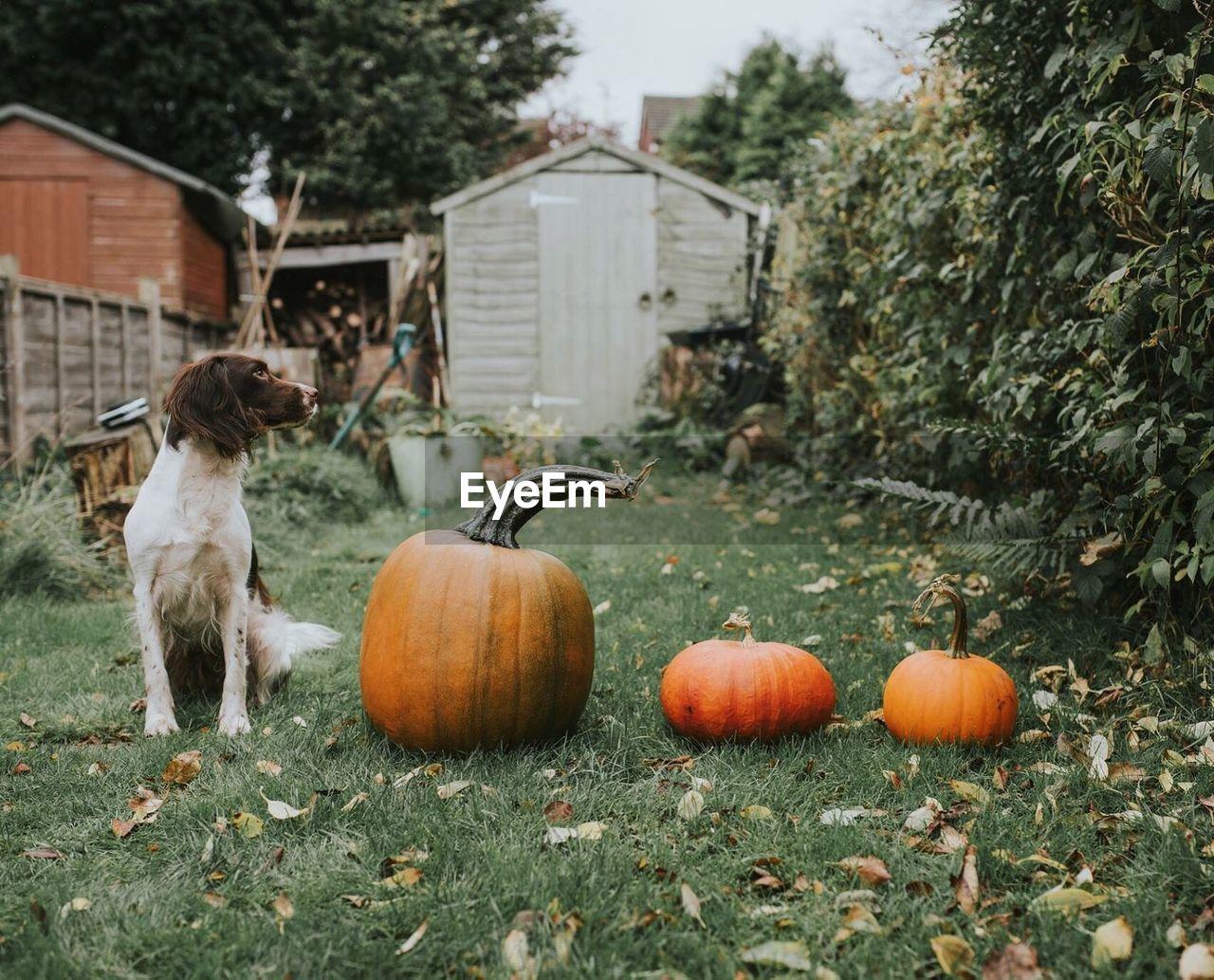 Dog Sitting By Pumpkins On Field