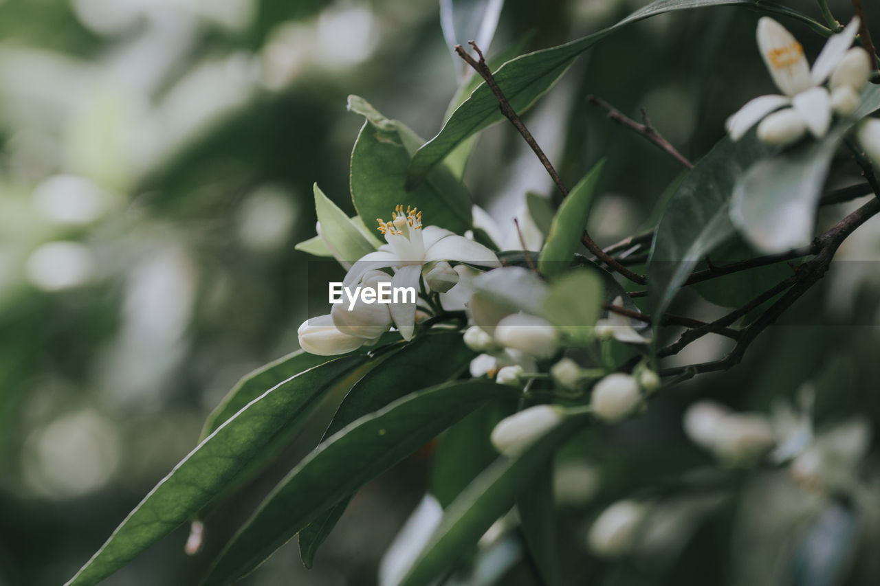 plant, flower, growth, flowering plant, beauty in nature, freshness, close-up, vulnerability, fragility, day, plant part, nature, petal, leaf, selective focus, white color, no people, flower head, green color, inflorescence