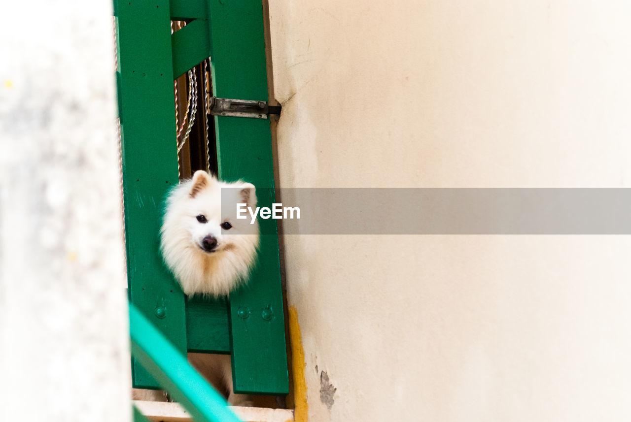 Portrait Of Pomeranian Stuck In Door