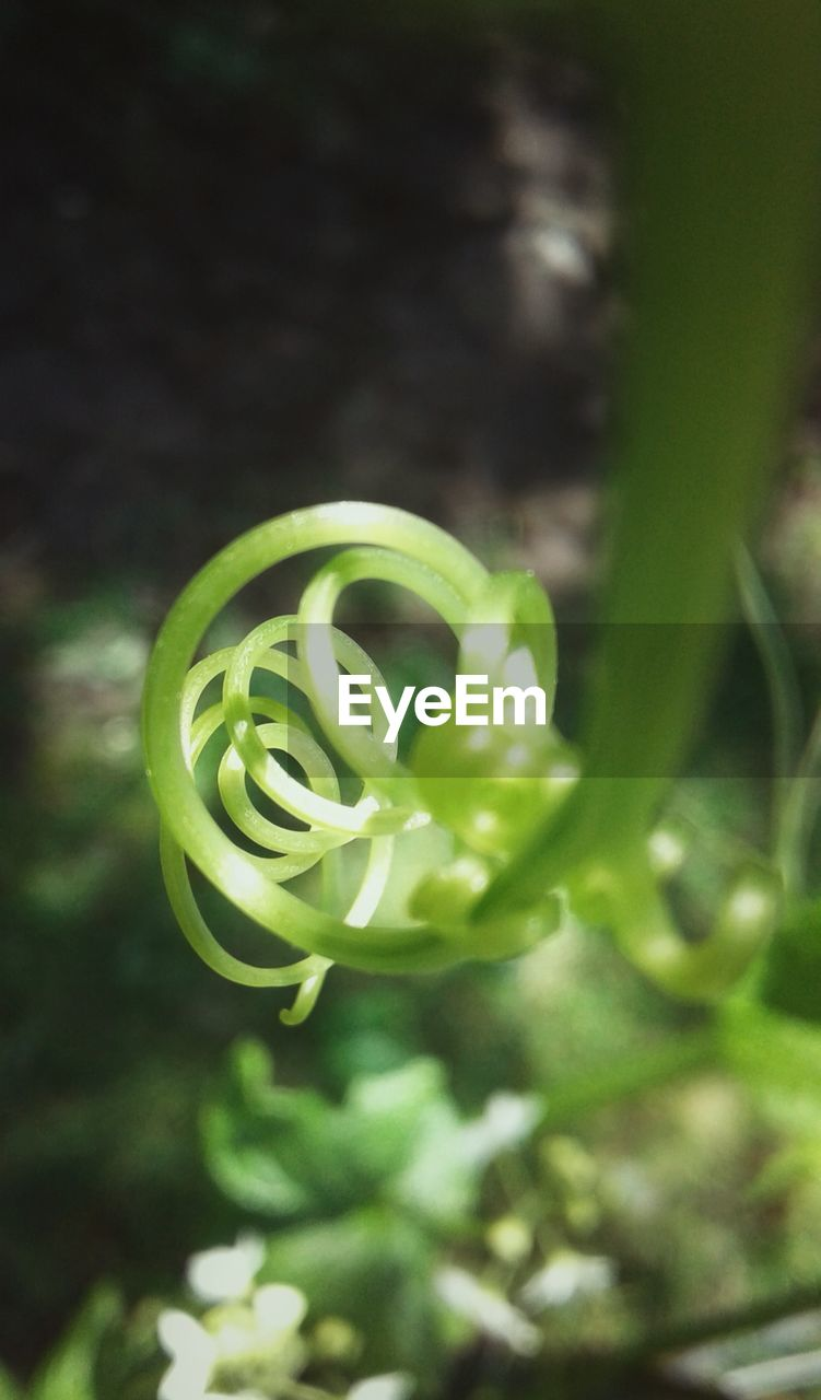 green color, growth, plant, nature, beauty in nature, no people, freshness, close-up, spiral, fragility, day, outdoors, flower