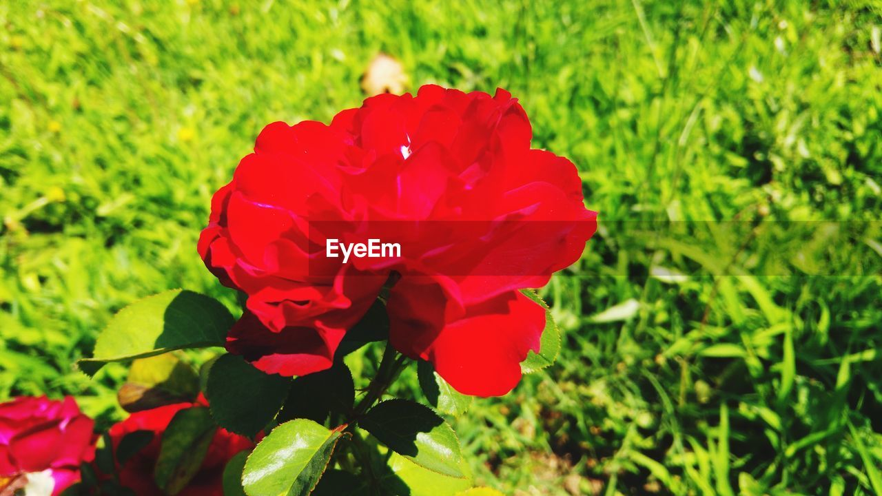 flowering plant, flower, plant, beauty in nature, fragility, vulnerability, petal, growth, freshness, red, flower head, inflorescence, close-up, green color, nature, no people, field, day, focus on foreground, land, outdoors