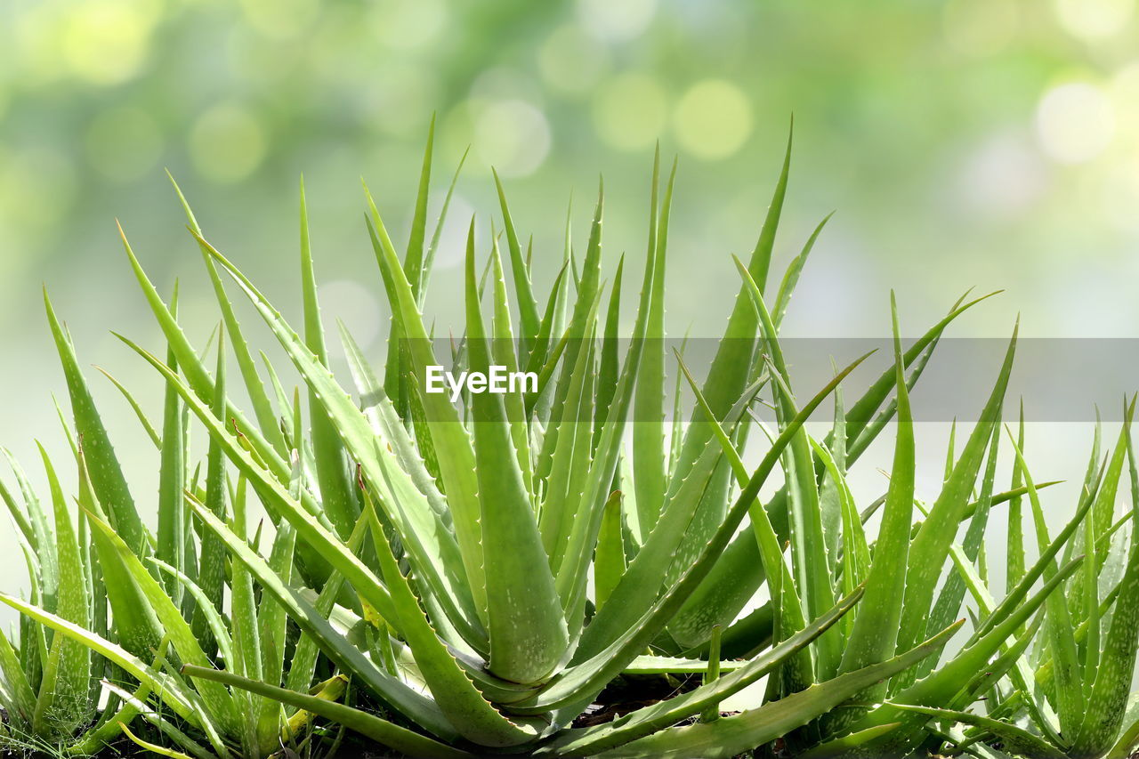 green color, plant, growth, nature, close-up, grass, beauty in nature, no people, day, tranquility, sunlight, leaf, plant part, freshness, outdoors, field, blade of grass, selective focus, land, focus on foreground
