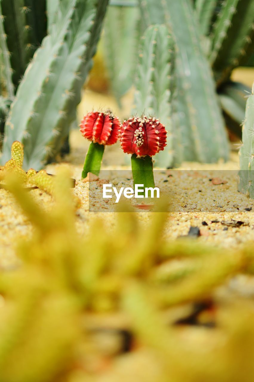 plant, growth, selective focus, beauty in nature, close-up, nature, day, no people, vulnerability, fragility, flower, fungus, freshness, mushroom, food, red, land, flowering plant, green color, outdoors, toadstool, flower head