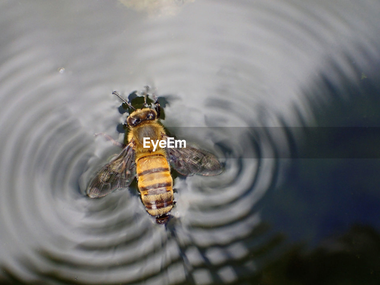 High angle view of bee making ripples on lake