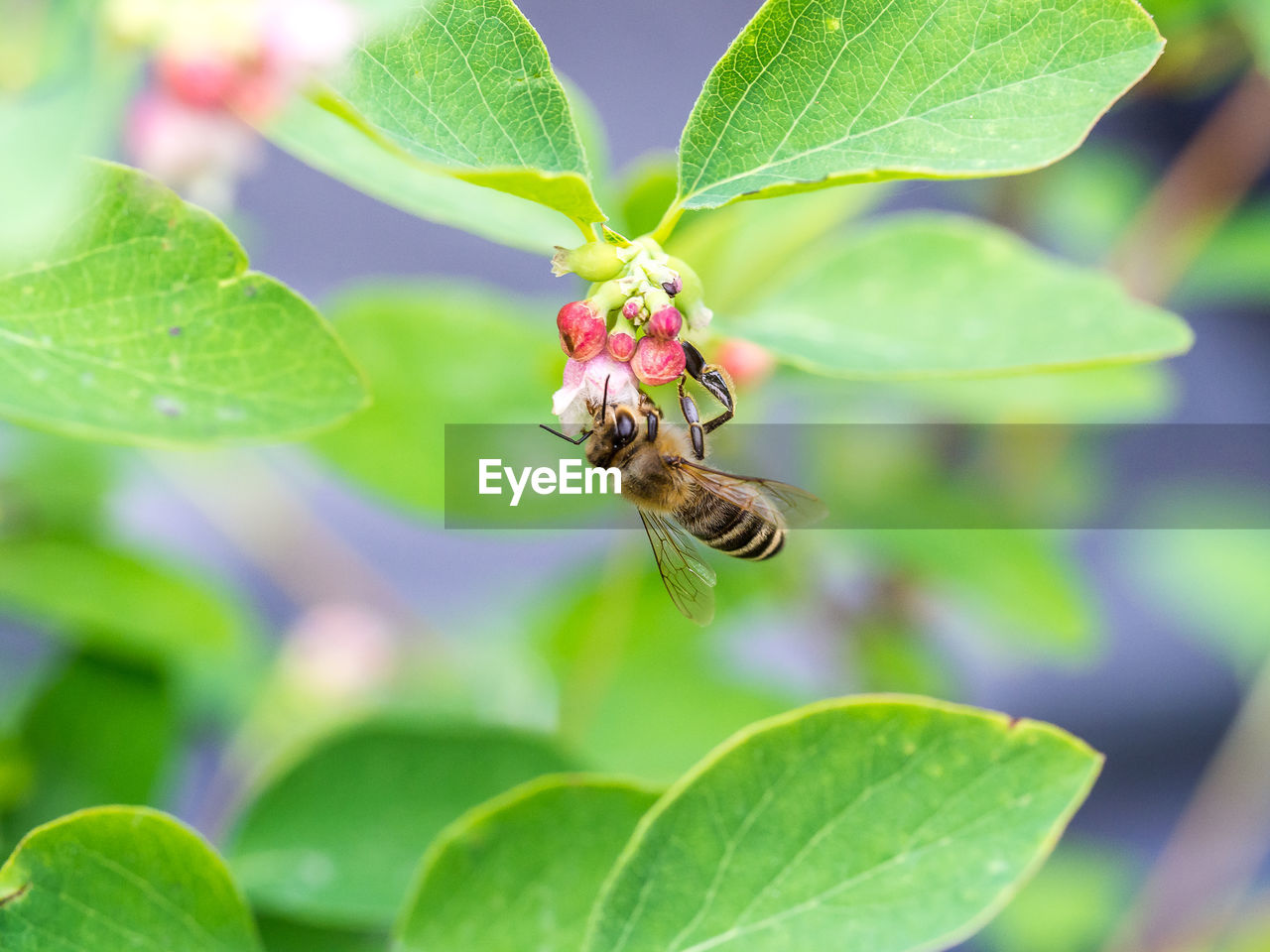 Close-Up Of Bee Pollinating On Pink Flower Buds