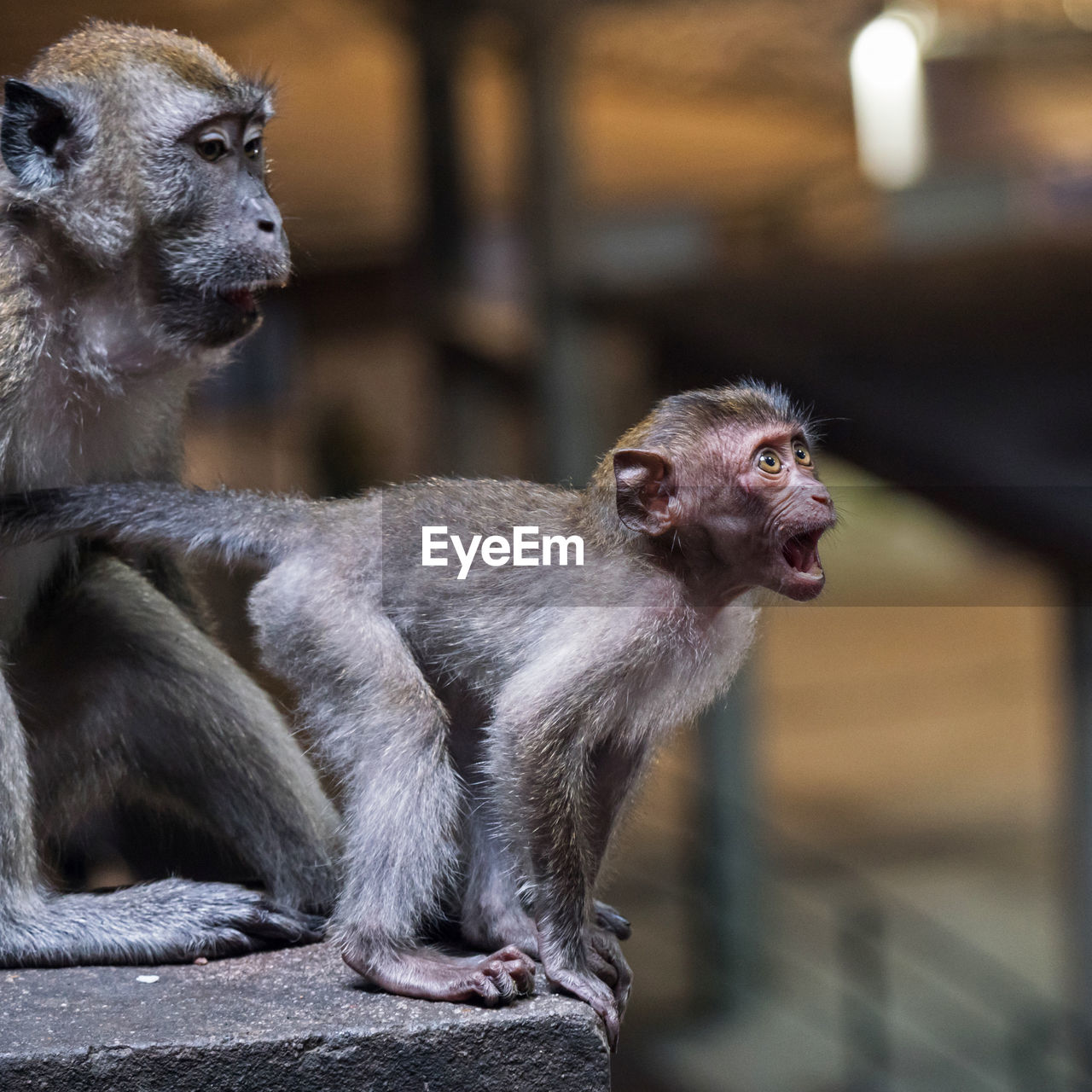 primate, mammal, focus on foreground, animal wildlife, looking, vertebrate, looking away, animals in the wild, one animal, people, sitting, day, outdoors, young, animal family, care, mouth open