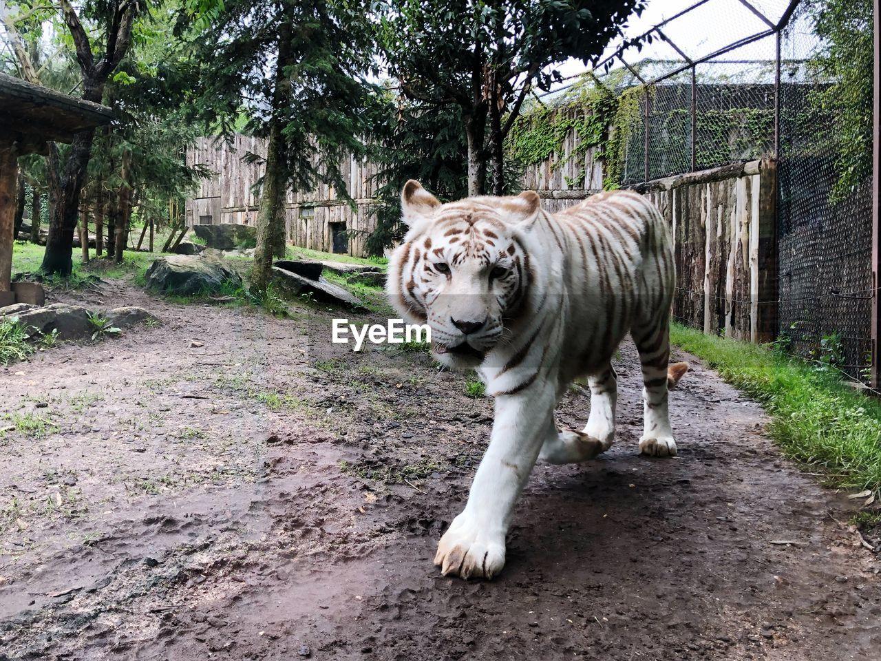 animal themes, animal, mammal, tree, one animal, animal wildlife, plant, feline, animals in the wild, day, nature, tiger, big cat, no people, cat, vertebrate, white tiger, walking, zoo, land, outdoors