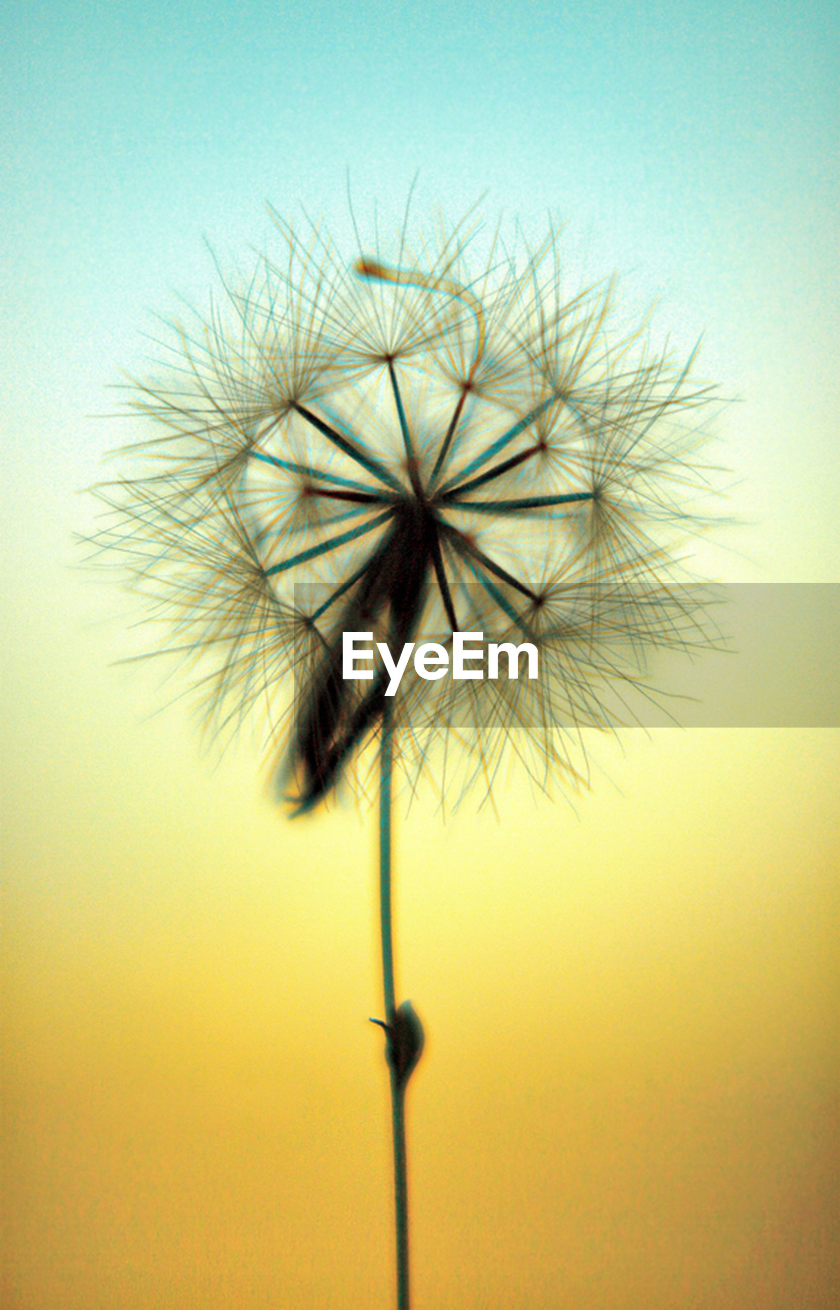 dandelion, flower, fragility, growth, stem, nature, close-up, flower head, single flower, beauty in nature, low angle view, softness, clear sky, plant, dandelion seed, sky, freshness, uncultivated, seed, no people