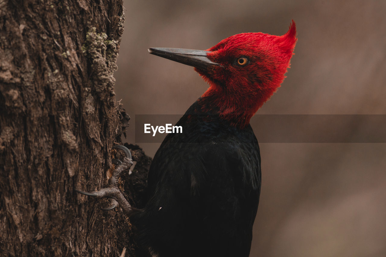 bird, animal themes, animal, vertebrate, one animal, animals in the wild, animal wildlife, close-up, no people, tree, focus on foreground, red, trunk, tree trunk, beak, nature, day, outdoors, perching, animal body part, animal head