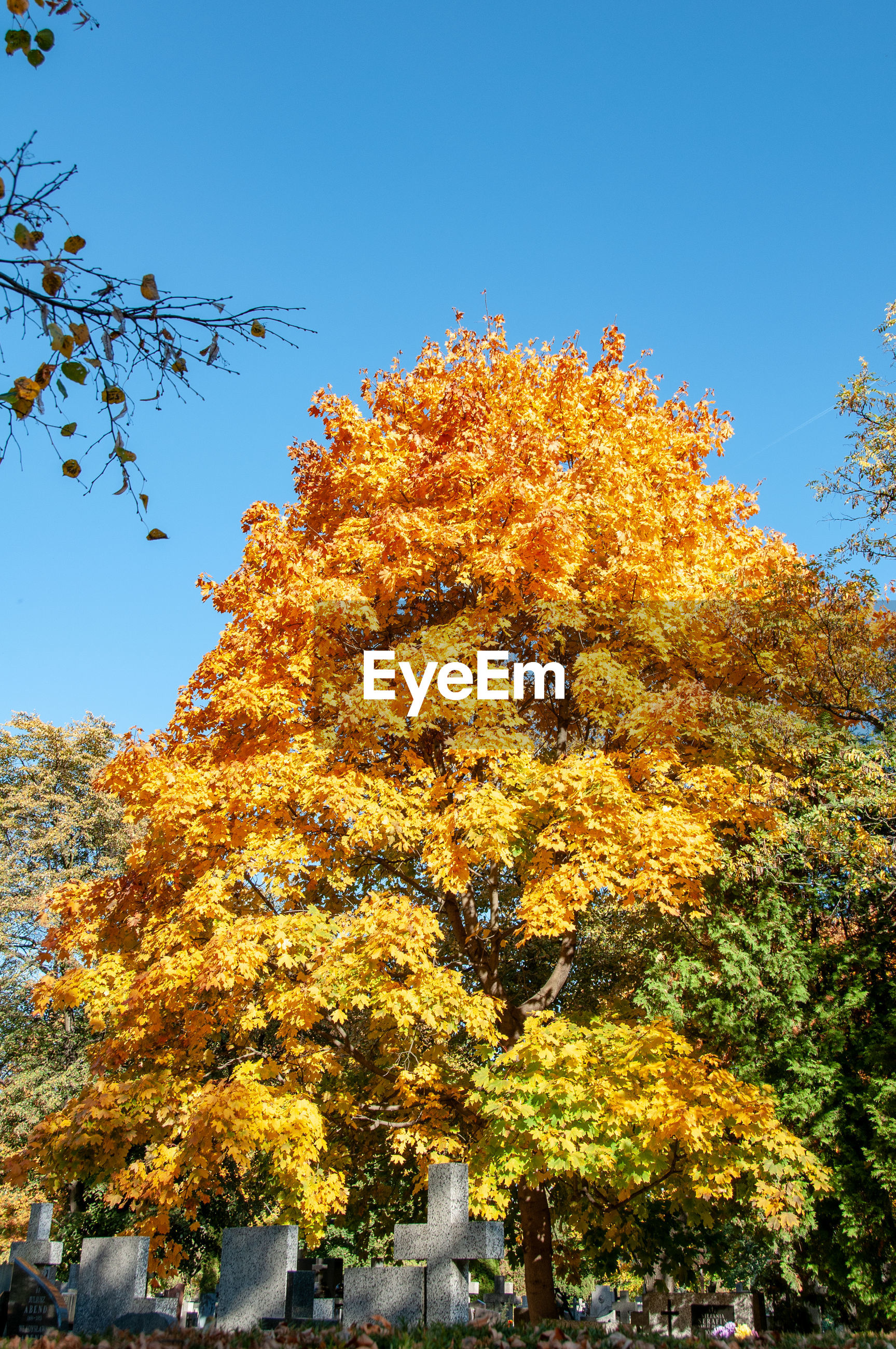 LOW ANGLE VIEW OF AUTUMNAL TREE AGAINST CLEAR SKY