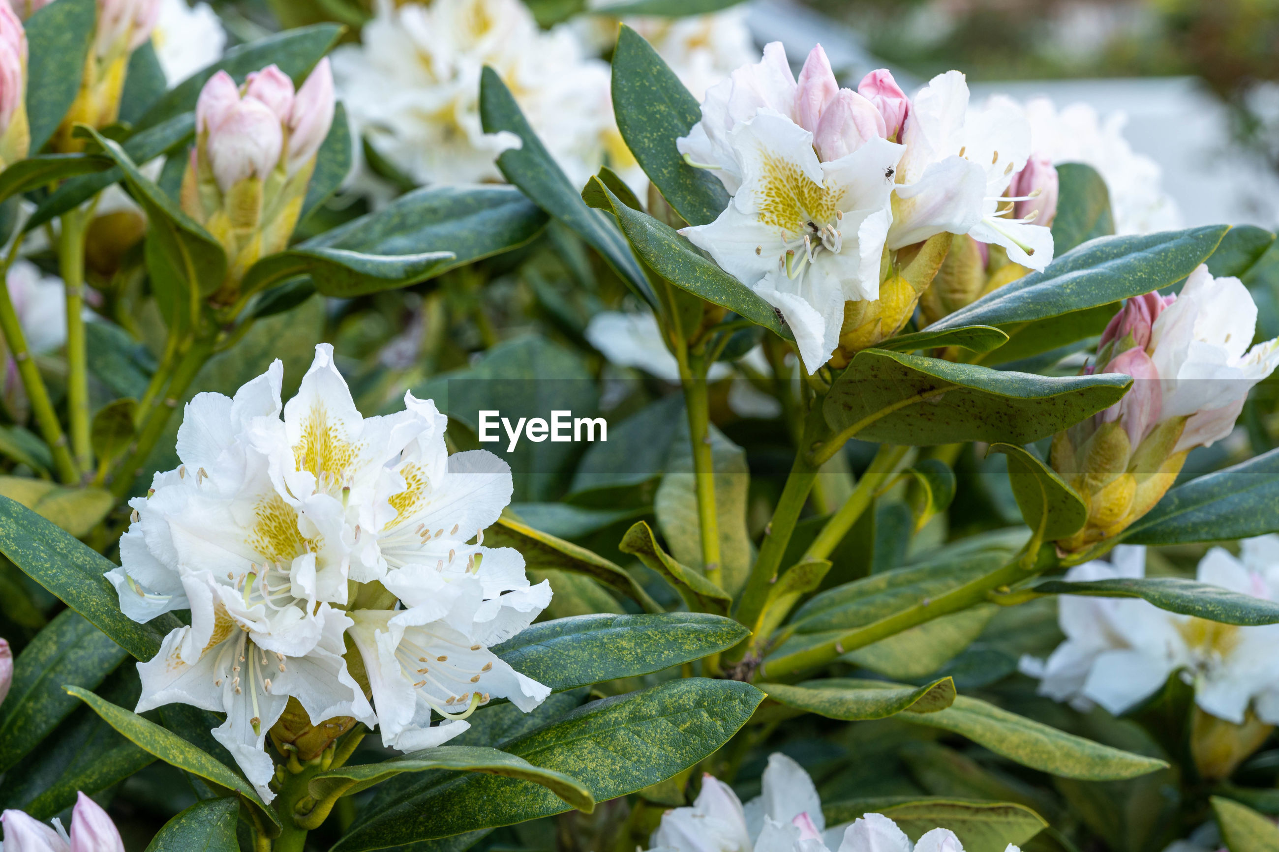 CLOSE-UP OF WHITE FLOWERING PLANT WITH FLOWERS