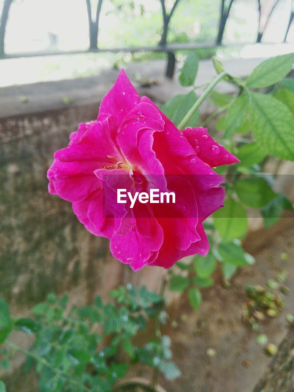flower, petal, beauty in nature, fragility, nature, flower head, pink color, growth, freshness, close-up, rose - flower, blooming, no people, plant, day, focus on foreground, outdoors, leaf