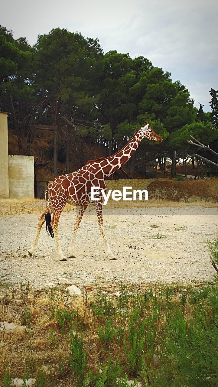 animals in the wild, animal themes, giraffe, day, one animal, animal wildlife, outdoors, tree, full length, mammal, nature, side view, standing, no people, sky, grass, safari animals