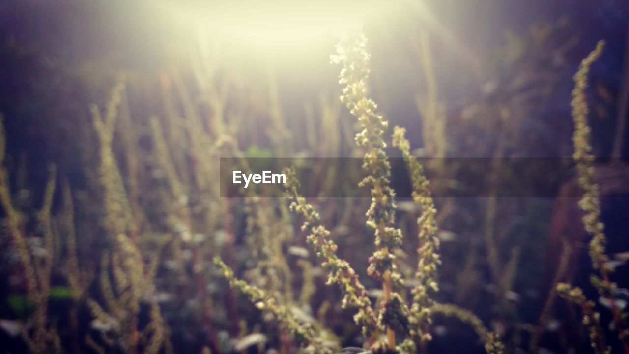 growth, nature, field, tranquility, plant, sunlight, sun, beauty in nature, no people, agriculture, outdoors, day, scenics, landscape, freshness, close-up, grass