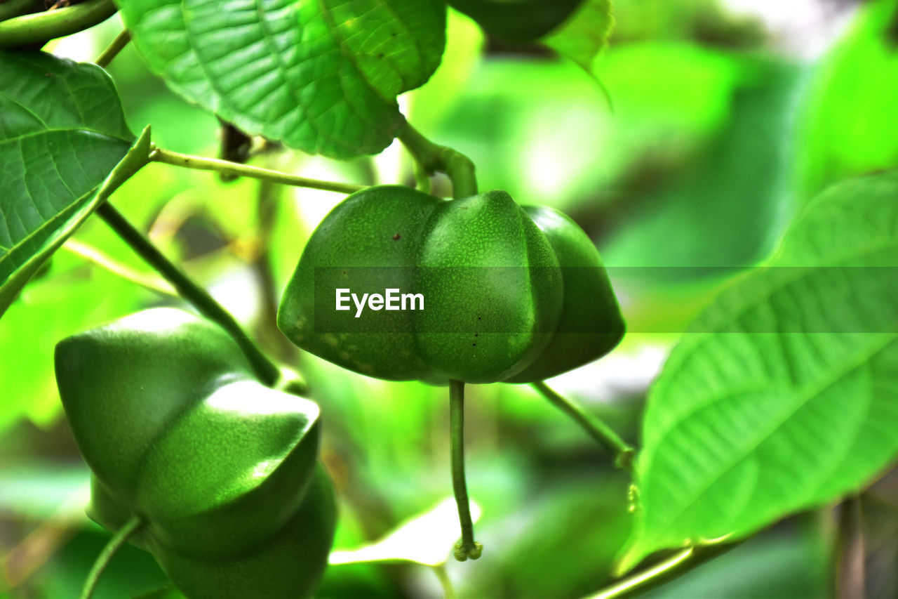growth, leaf, plant part, green color, plant, food, healthy eating, food and drink, fruit, freshness, close-up, focus on foreground, nature, tree, no people, beauty in nature, day, wellbeing, raw food, outdoors, ripe