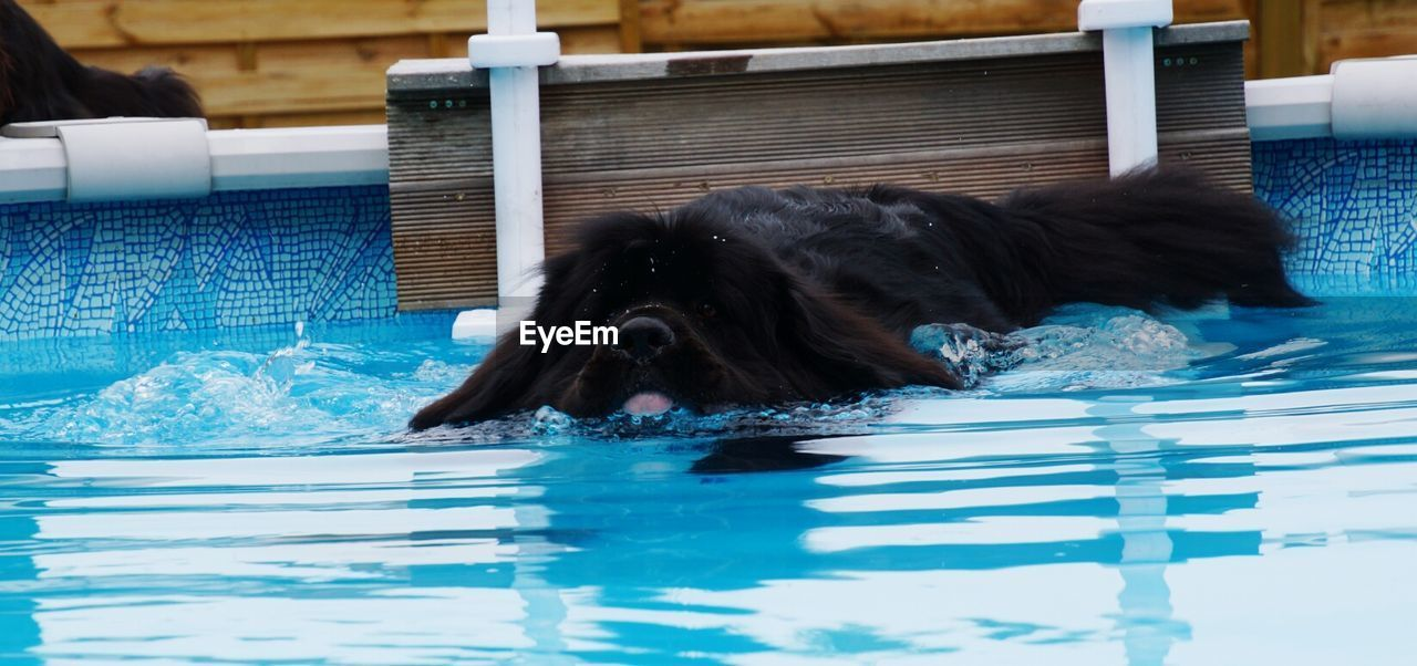View of black dog swimming in pool