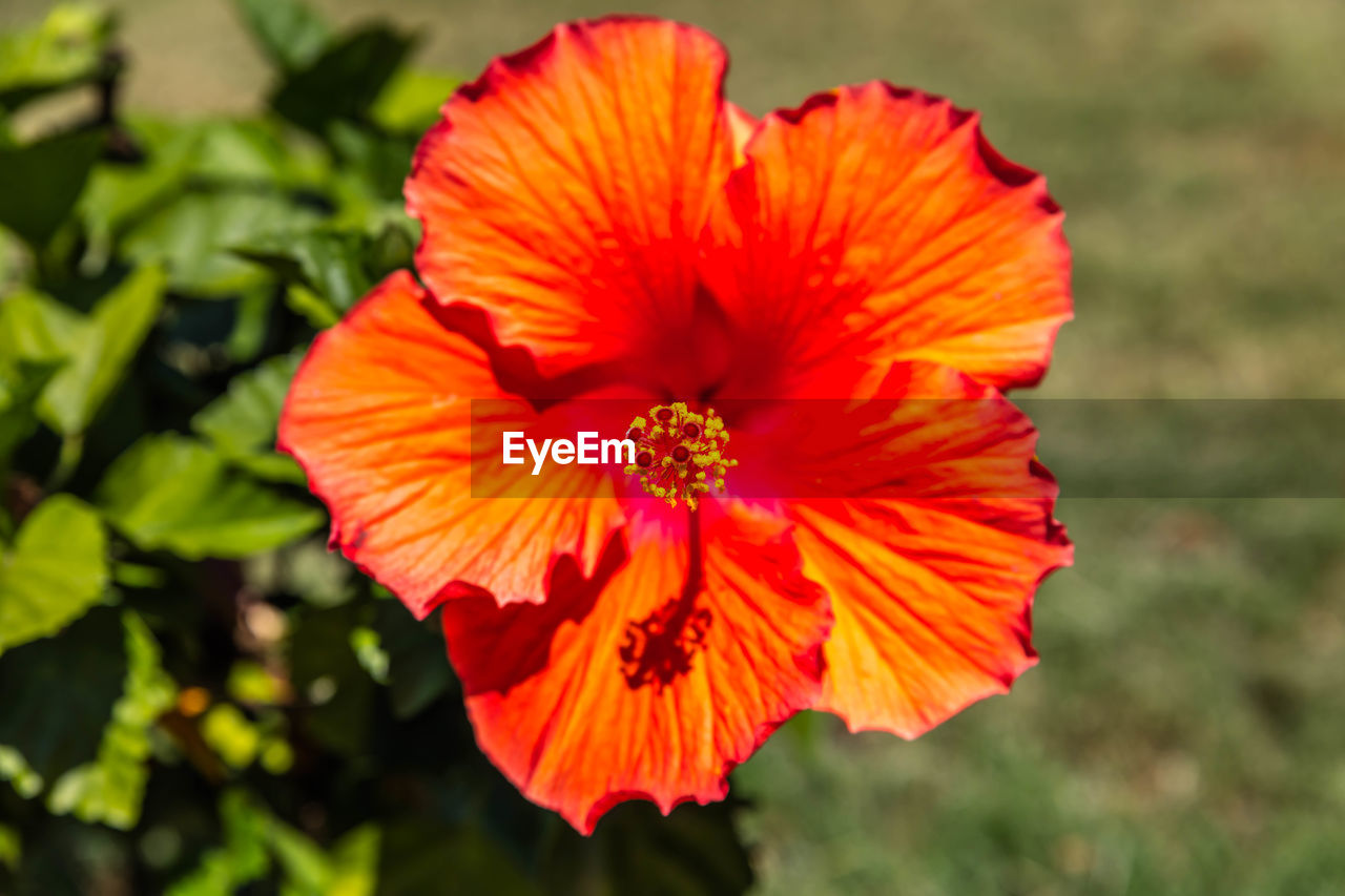 flower, petal, flower head, beauty in nature, nature, fragility, growth, focus on foreground, plant, no people, red, freshness, blooming, pollen, day, outdoors, close-up, hibiscus, poppy