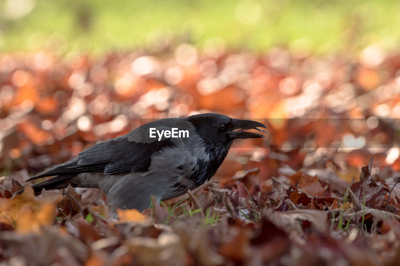 animal, animal themes, vertebrate, one animal, bird, selective focus, animal wildlife, animals in the wild, autumn, leaf, plant part, land, no people, day, nature, change, outdoors, close-up, field, black color, leaves
