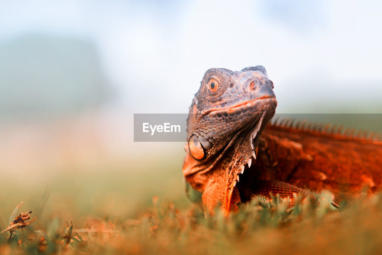animal themes, one animal, animal, animals in the wild, animal wildlife, vertebrate, reptile, selective focus, nature, no people, close-up, animal body part, day, turtle, field, animal head, land, outdoors, looking, plant, animal scale