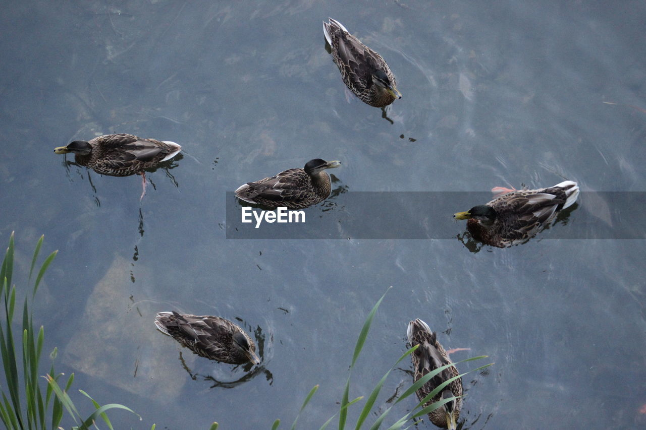 High Angle View Of Ducks Swimming In Water