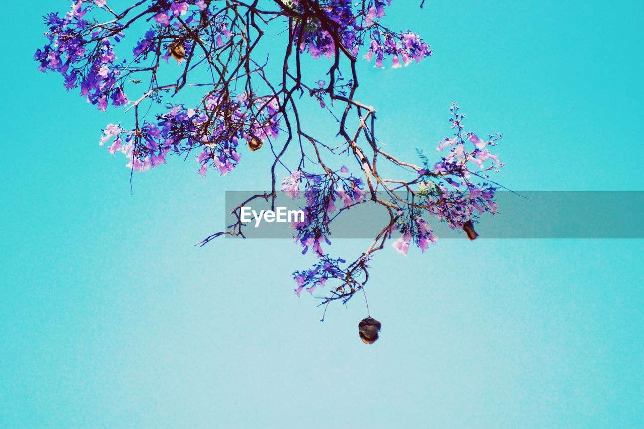 no people, flower, low angle view, growth, tree, fragility, nature, clear sky, blue, beauty in nature, branch, day, outdoors, sky, close-up, freshness